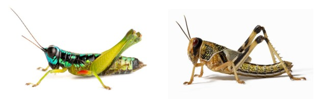 The grasshopper (left) and the locust (right) are simply two different expressions of the same genome